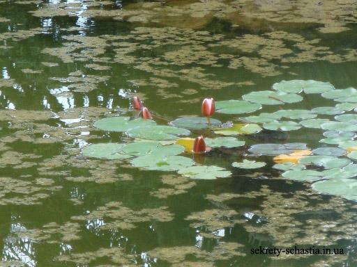 Бассейн с фонтаном перед  Массандровским дворцом кажется неухоженным. На самом деле в воде растут вот такие цветы